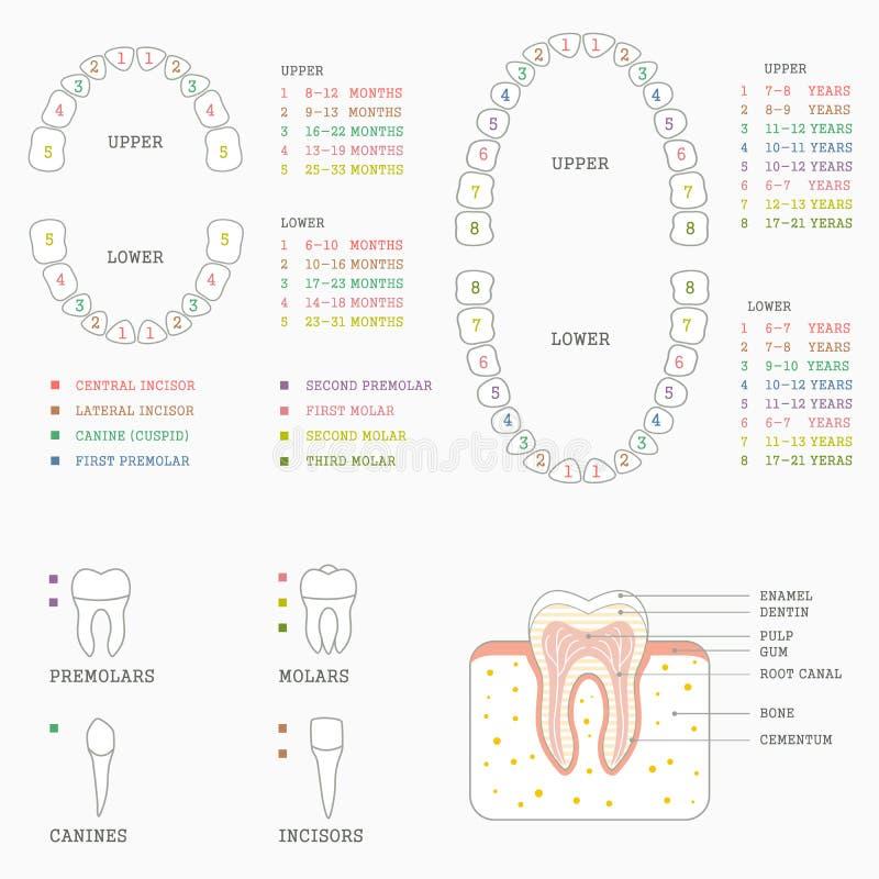 tanddiagram, mänskliga tänder royaltyfri illustrationer