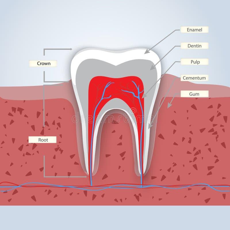Tanden of tandillustratie stock illustratie
