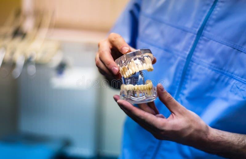 Tandläkare som rymmer en mänsklig käkemodell fotografering för bildbyråer