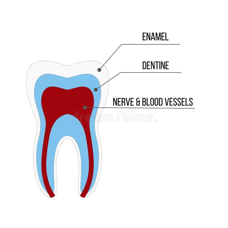 Tandstrukturanatomi med alla delar inklusive hålet för emaljdentinträmassa rotar kanalen ger första erfarenhet tillförsel för utb royaltyfri illustrationer