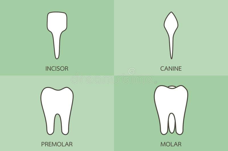 Tandtyp - framtand, hörntand, premolar, kindtand, tand- tecknad filmvektor vektor illustrationer