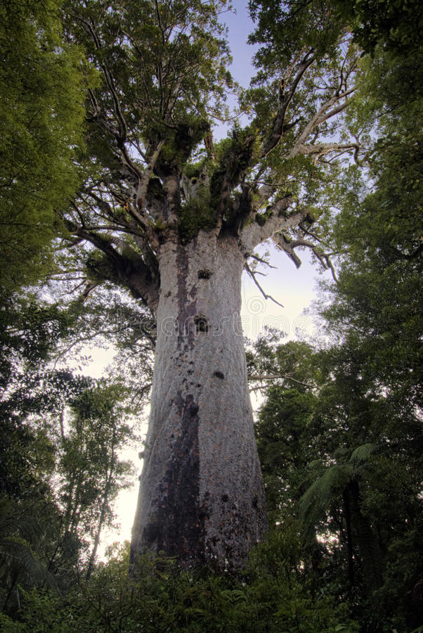 Tane Mahuta ,Kauri tree, Northland New Zealand. Tane Mahuta ,God of the forest, Kauri tree, Northland New Zealand stock images