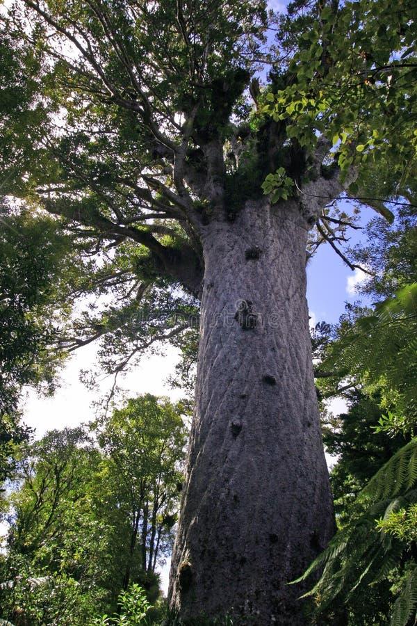 Tane Mahuta - Large Kauri Tree stock photo