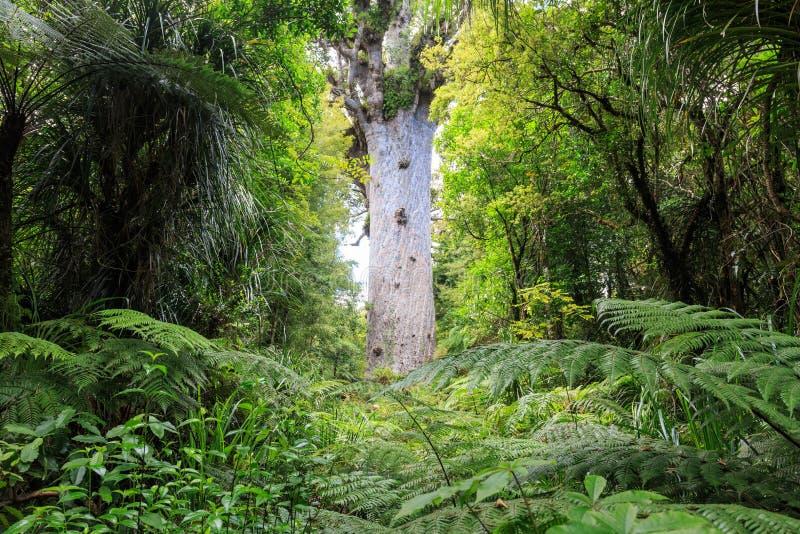 Tane Mahuta, señor del bosque fotografía de archivo