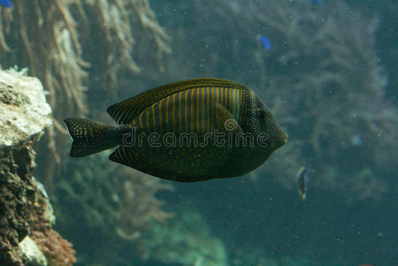 Download Tang stock image. Image of saltwater, deep, acanthurus - 16146581