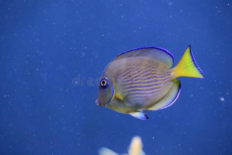 Tang azul atlántico foto de archivo libre de regalías