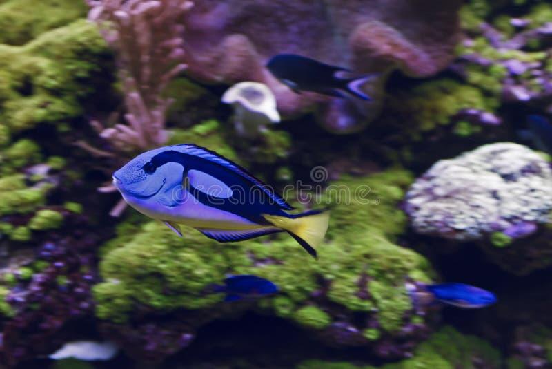 Tang azul, Tang Paracanthurus Hepatus régio fotos de stock