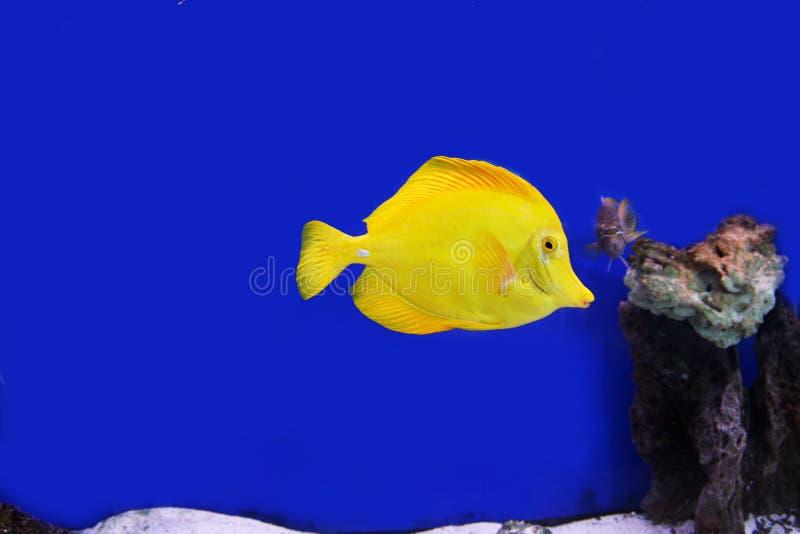 Tang fish royalty free stock images