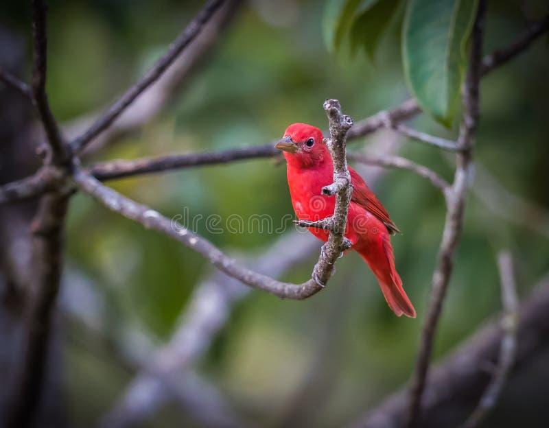 Tangager d'été rouge vif perché sur la branche sous les tropiques images libres de droits