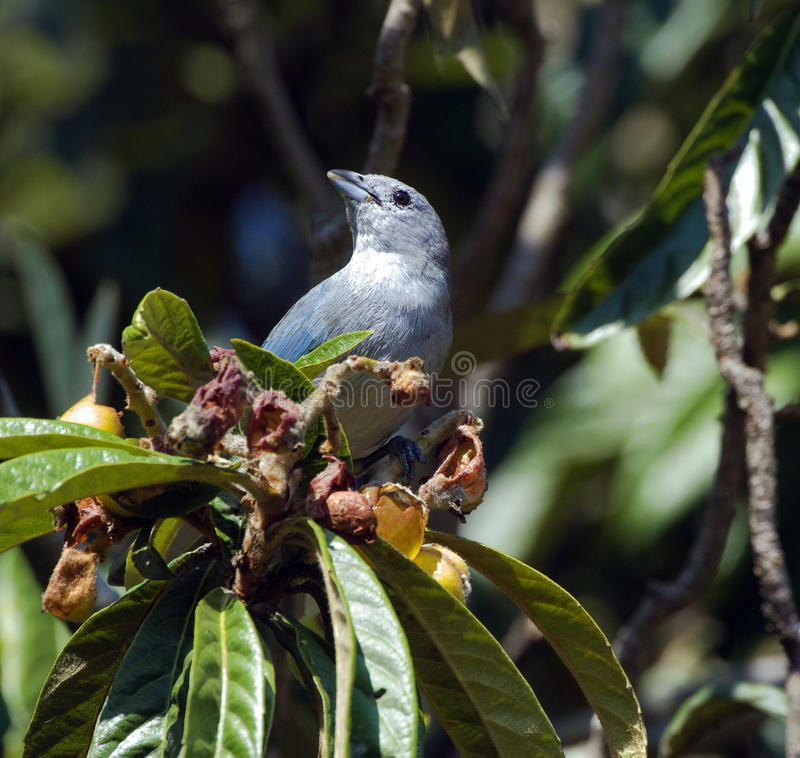 Tangara-sayaca, das Frucht des Loquatbaums isst stockbild
