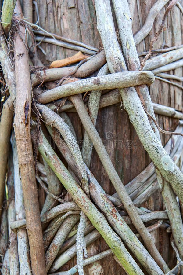 Tangled philodendron roots stock photos