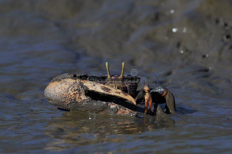 Tangeri d'Uca de crabe de violoneur photo libre de droits