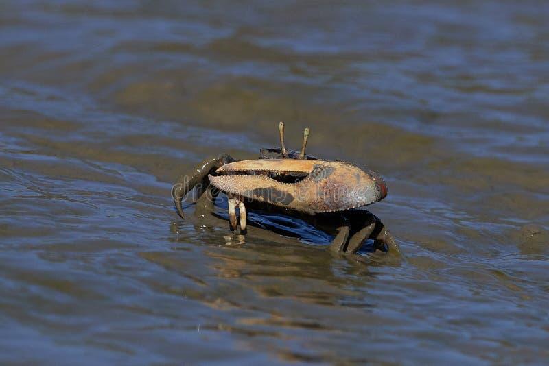 Tangeri d'Uca de crabe de violoneur photos libres de droits