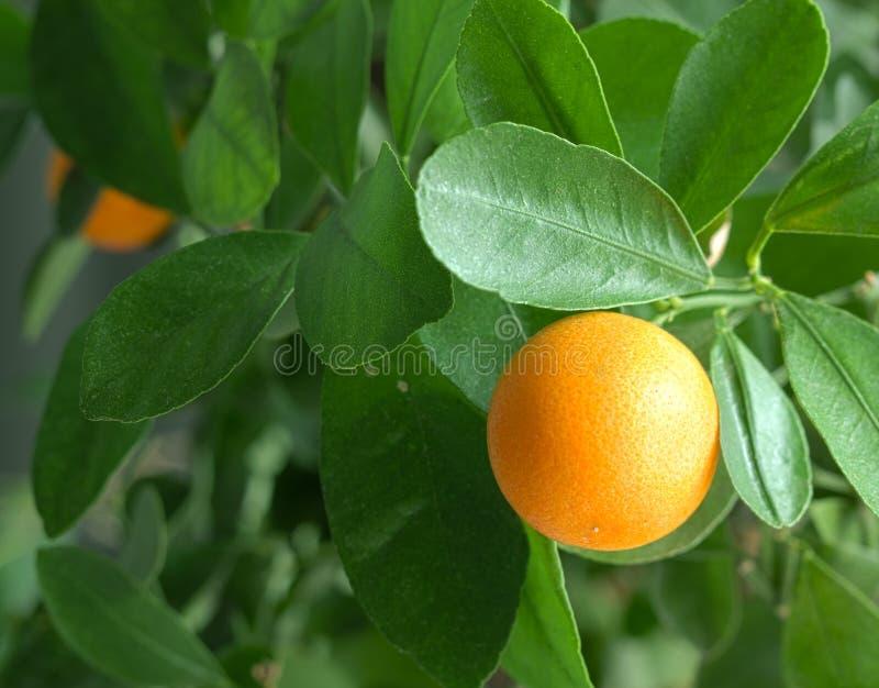 Tangerinas em uma árvore de citrino. foto de stock royalty free