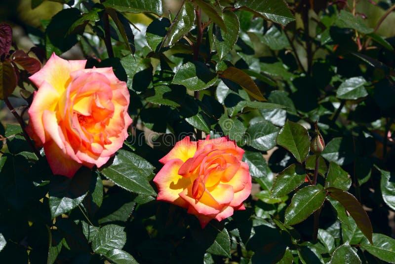 Tangerine αυξήθηκε ανθίζοντας στον κήπο στοκ εικόνες με δικαίωμα ελεύθερης χρήσης