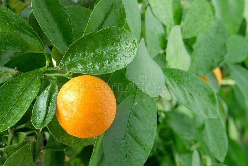 Tangerine на дереве цитруса. стоковое изображение