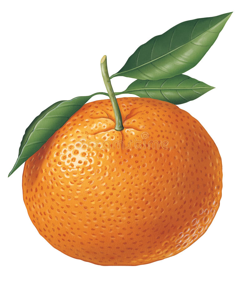 Tangerine. Detailed illustration of a tangerine royalty free illustration