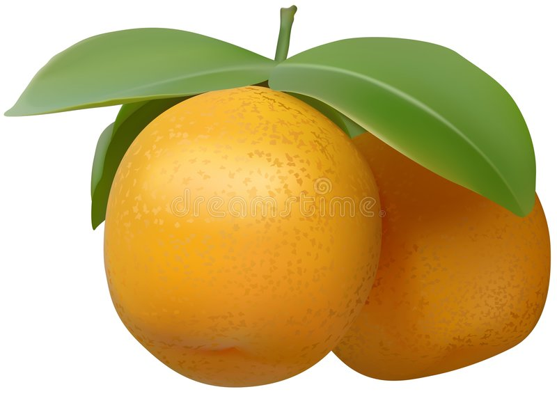 Tangerine. Detailed realistic illustration as vector file stock illustration