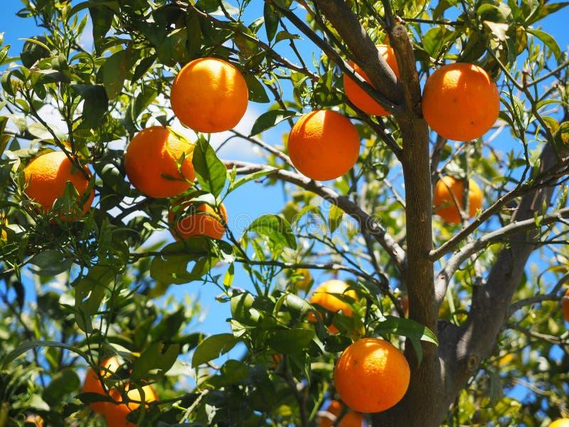 Цитрус, плод, фруктовое дерево, Tangerine стоковые фотографии rf