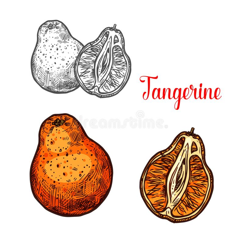 Tangerine citrus fruit sketch of mandarin orange. Tangerine fruit of citrus tree sketch. Ripe mandarin orange isolated icon of tropical fruit for natural juice vector illustration