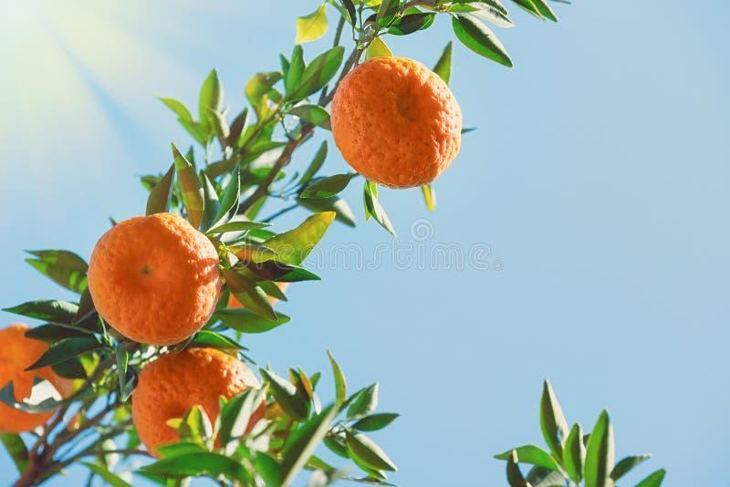 Tangerine citrus fruits on the tree stock photos