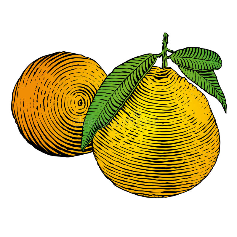Tangerine. Drawing of tangerine's branch with fruit and leaves stock illustration
