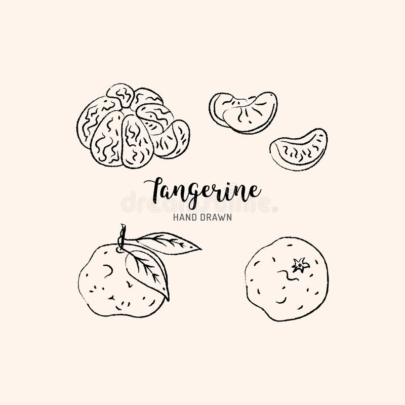 Tangerine drawing Vector hand drawn mandarin. Sketch of tangerines on white background, Vector isolated icons royalty free illustration