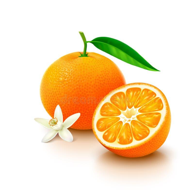 Tangerine fruit with half and flower on white background. Whole mandarin orange with leaf, slice and flower on white background. Vector illustration vector illustration