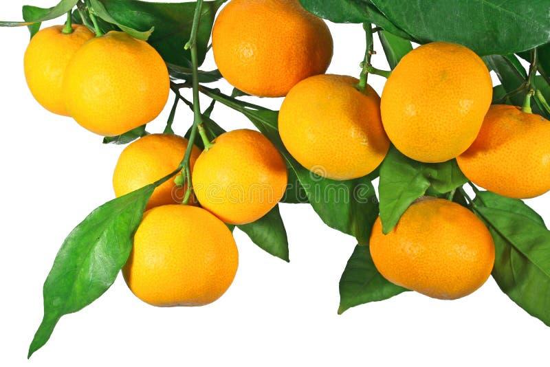 Tangerine fruit on a tree royalty free stock photos