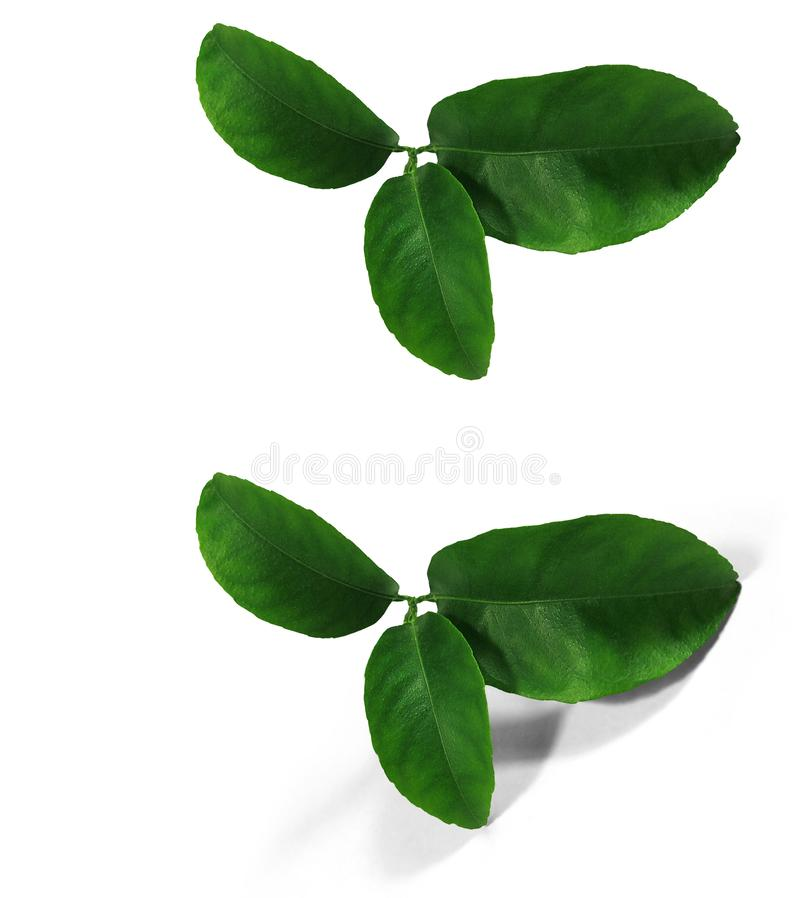 Tangerine green leaves isolated without a shadow and with an original shadow over a white and transparent background PNG. Var-1. stock images