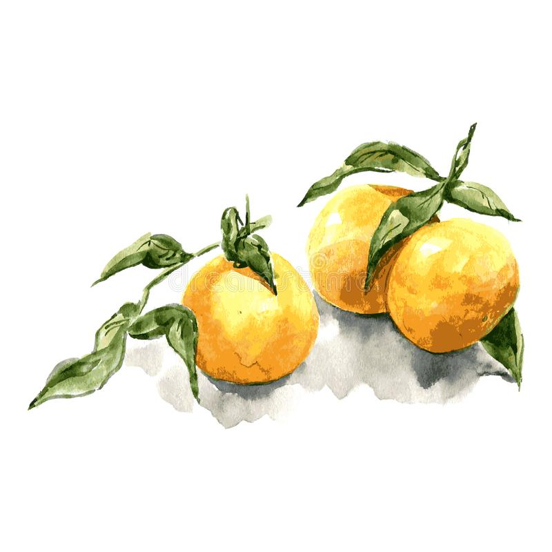 Tangerine with leaves. Watercolor illustaration on white background. Vector royalty free stock image