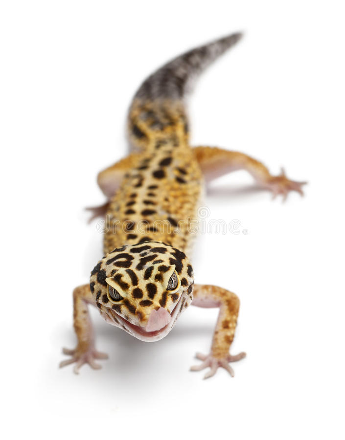 Download Tangerine Leopard Gecko, Eublepharis Macularius Stock Image - Image of patterned, leopard: 22929443