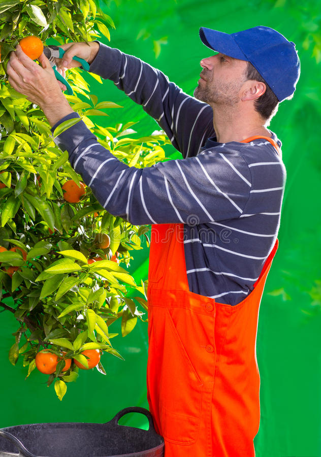 Tangerine Orange Farmer Collecting Man Stock Image