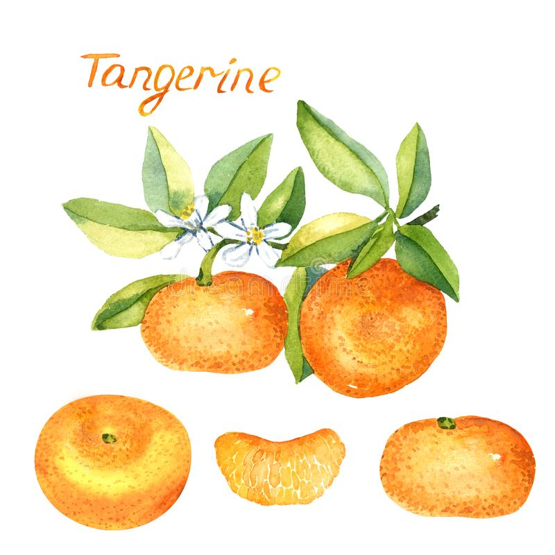 Tangerine rozgałęzia się z owoc, białymi kwiaty, całe owoc i przyrodnia sekcja, ilustracja wektor