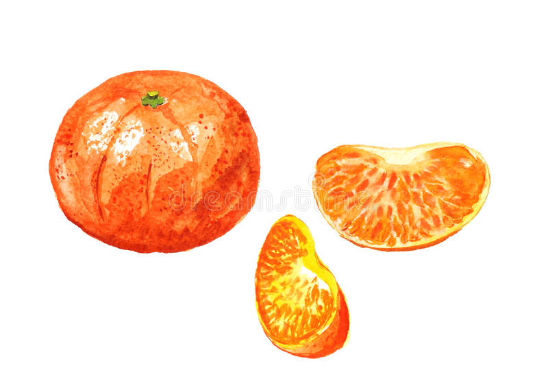 Tangerine with segments. Watercolor image of mandarin with two segments vector illustration