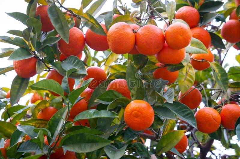 Tangerine selvatiche per strada fotografie stock