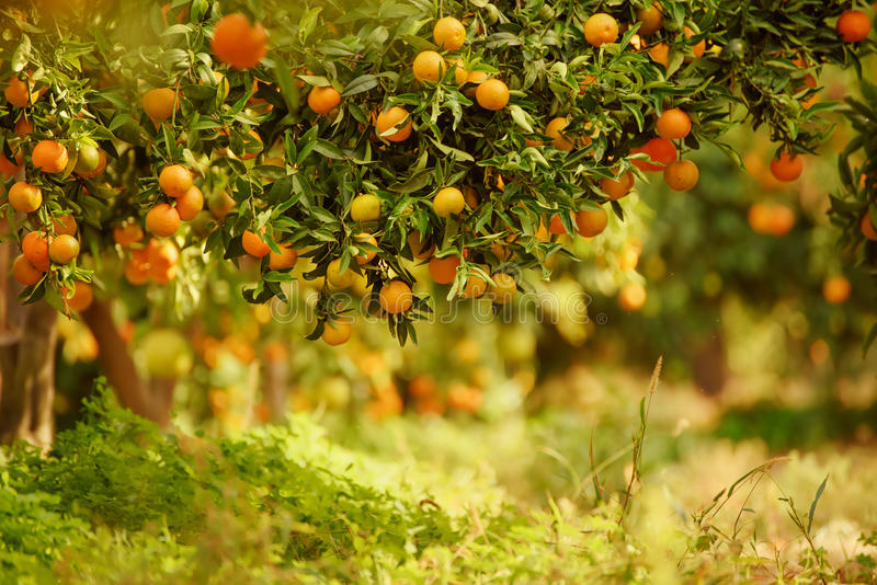Download Tangerine Sunny Garden Stock Photo - Image: 83704434