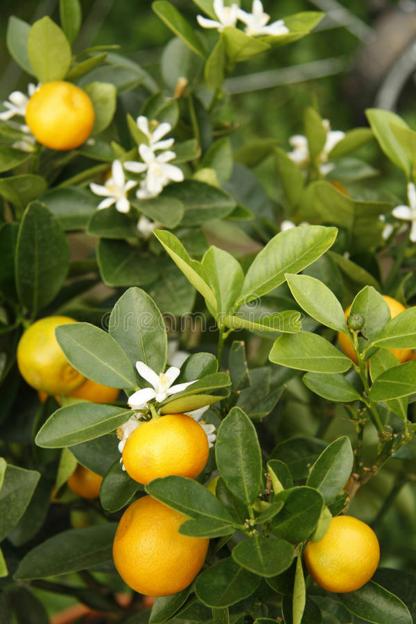 Download Tangerine Tree Royalty Free Stock Photography - Image: 10840947
