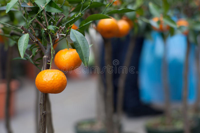 Tangerine on tree. Biological tangerine on tree in the pot stock image