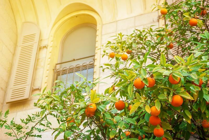 Tangerine tree with orange fruits near the window of an old house. Citrus fruits, healthy food, vitamins royalty free stock photography