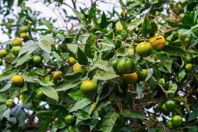 Tangerines ωριμάζουν σε ένα δέντρο, αλλά ακόμα πράσινος Μέχρι το σύνολο η ωρίμανση παρέμεινε 1 μήνας στοκ εικόνες με δικαίωμα ελεύθερης χρήσης