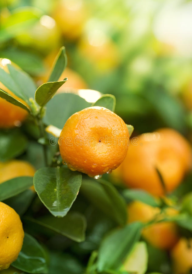 Free Tangerines Royalty Free Stock Photography - 18662887