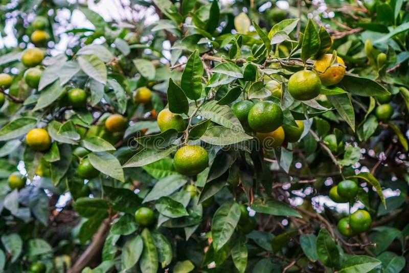 Tangerines dojrzewają na drzewie ale wciąż zielenieją, Do pełny maturation zostający 1 miesiąc zdjęcia stock