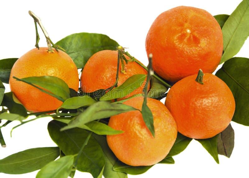 Tangerines na gałąź z zielonymi liśćmi na białym odosobnionym tle zdjęcie royalty free