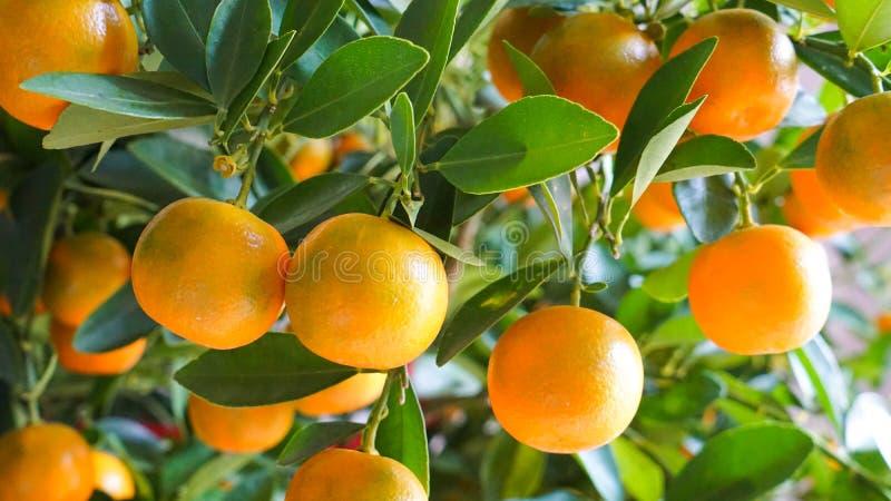 Tangerines on tree stock image