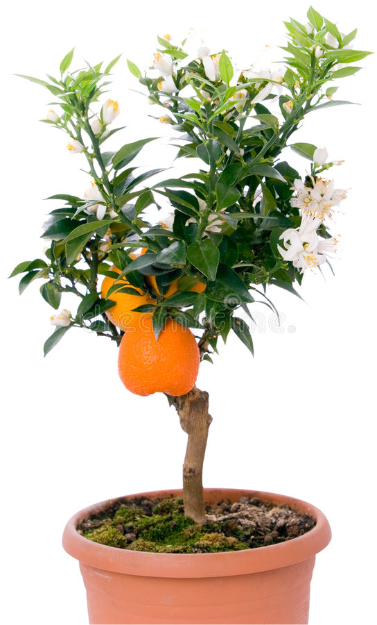 Free Tangerines Tree With Fruits And Flowers Stock Image - 4021411