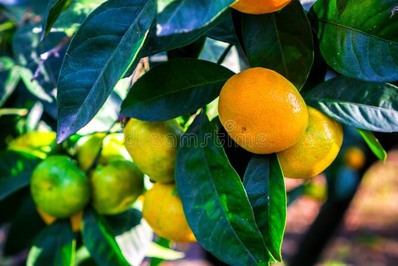 Tangerines wieszają na drzewie i są prawie dojrzali Już cukierki i kolory żółci obrazy royalty free