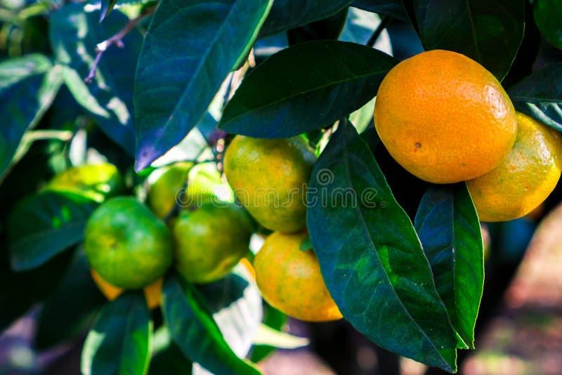 Tangerines wieszają na drzewie i są prawie dojrzali Już cukierki i kolory żółci zdjęcia royalty free