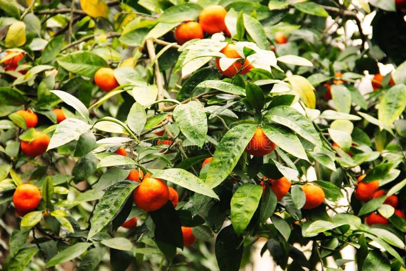 Tangerinträdet med mandarinen bär frukt på det royaltyfri bild