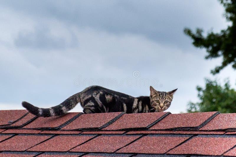 Tangier wyspy kot na dachu fotografia stock